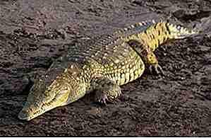 Krokodilmist